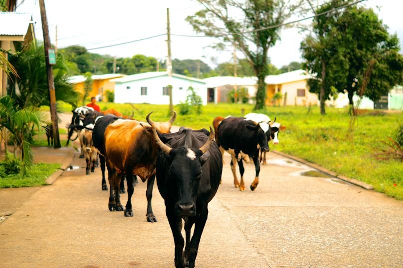 0.way_cows